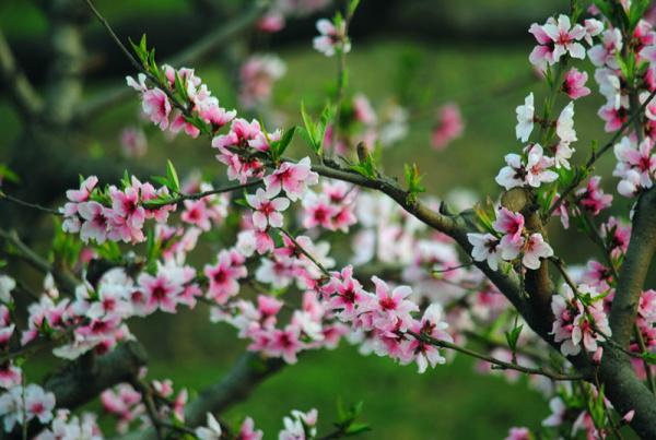 山东肥城桃花节_桃花盛开的季节,这里才是最值得去的地方