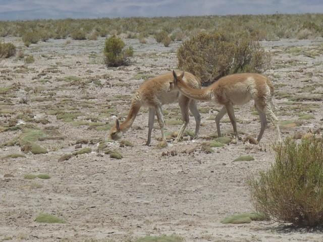 动物骆驼带围巾的图片大全