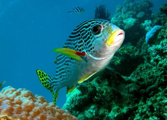 漂亮华丽的狮子鱼好逸恶劳的印头鱼,脊部棘状突出并且释放毒液的石鱼